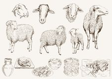 Sheep breeding Royalty Free Stock Photos
