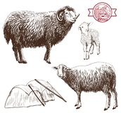 Sheep breeding. Set of vector sketches on a white background stock illustration