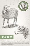 Sheep breeding sketch Royalty Free Stock Images