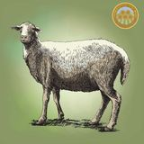 Sheep breeding sketch Stock Photos
