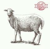 Sheep breeding sketch Royalty Free Stock Image
