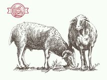 Sheep breeding sketch. Sheep breeding. sketch made by hand on a white background stock illustration