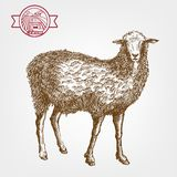 Sheep breeding Royalty Free Stock Photography