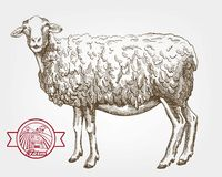 Sheep breeding. Vector sketch on a white background royalty free illustration