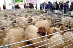Sheep on International Fair of products and equipment for agriculture, horticulture, viticulture and livestock INDAGRA - Romania. Sheep breeds presented at the stock photography