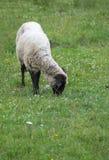 A sheep Royalty Free Stock Image