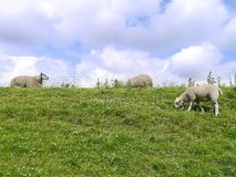 Sheep on brow of hill Royalty Free Stock Image