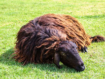 Sheep. Brown sheep be tired on green grass Royalty Free Stock Photos