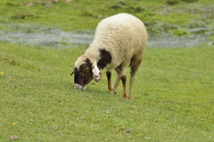 Sheep with Brown color Grazing Fresh Green Grass in Himalayan Hills Royalty Free Stock Image