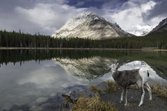 Sheep at Buller Pond. A young Rocky Mountain Sheep at Reflective Buller Pond in Canada's Alberta Rockie Mountains Royalty Free Stock Images