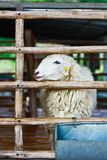 Sheep in cage Stock Photography