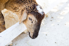 Sheep in a cage. Black sheep in a cage Stock Image