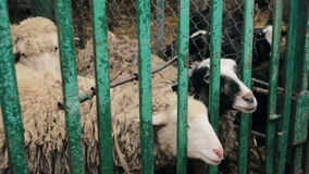 Sheep in cage at county fair stock footage