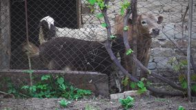 Sheep and calf are in the pen. This video showsSheep and calf are in the pen stock video footage