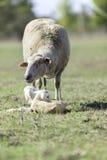 Sheep, after calving royalty free stock image