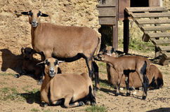 Sheep on Cameroon with lamb Royalty Free Stock Photo