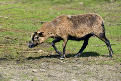 Sheep on Cameroun. Sheep of Cameroon Ovis aries walking on grass Royalty Free Stock Images