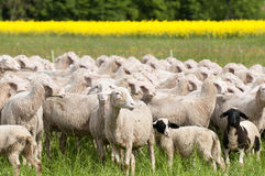 Sheep and Canola Royalty Free Stock Image