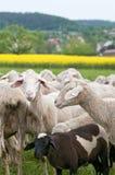 Sheep and Canola Stock Image