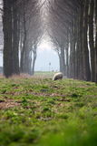 Sheep and canopy Royalty Free Stock Photos