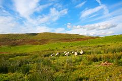 Sheep in Carron Valley, Scotland Royalty Free Stock Photo