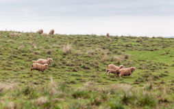 Sheep Cattle Stock Photography