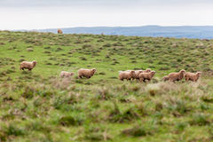 Sheep Cattle Royalty Free Stock Image
