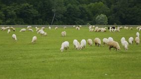 Sheep and cattle animals grazing in meadow, farming business in rural area