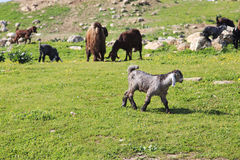 Sheep. Cattle of goats and sheep herding in Jordan Stock Photo
