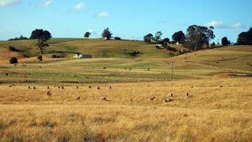 Sheep and Cattle Grazing in Open Paddocks, Tasmania Royalty Free Stock Image
