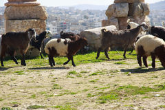 Sheep. Cattle of sheeps herding in Jordan Royalty Free Stock Photos