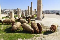 Sheep. Cattle of sheeps herding in Jordan Royalty Free Stock Photo