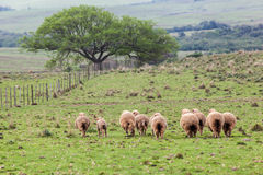 Sheep Cattle Stock Photo