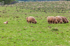 Sheep Cattle Royalty Free Stock Photos