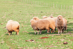 Sheep Cattle Stock Images