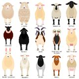 Sheep chart with breeds name. Various sheep breeds chart set, domestic sheep with their breed name vector illustration