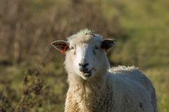 Sheep Chewing Cud Royalty Free Stock Photography