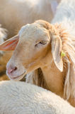 Sheep chewing grass Stock Images