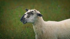 Sheep Chewing Grass Looks At Camera. Sheep eating grass looks across at camera stock footage