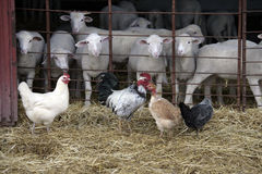 Sheep and chickens. In a barn, Spain stock image