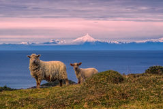 Sheep in Chile Royalty Free Stock Image
