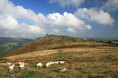 Sheep on Chinkwell Tor, Dartmoor, Royalty Free Stock Photography