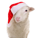 Sheep in Christmas clothes. Animal isolated on white background stock photos