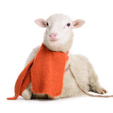 Sheep in Christmas scarf Royalty Free Stock Photo