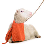 Sheep in Christmas scarf Royalty Free Stock Photos