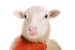 Sheep in Christmas scarf Stock Photo