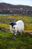 Sheep on cliff Stock Photography