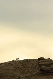 Sheep on a cliff Royalty Free Stock Photo