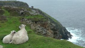 Sheep on cliff stock video