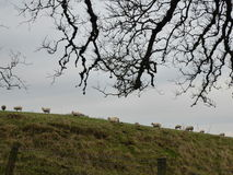 Sheep Climbing a Hill at twilight. A flock of sheep climbing the brow of a hill at twilight framed by bare tree branches Royalty Free Stock Image